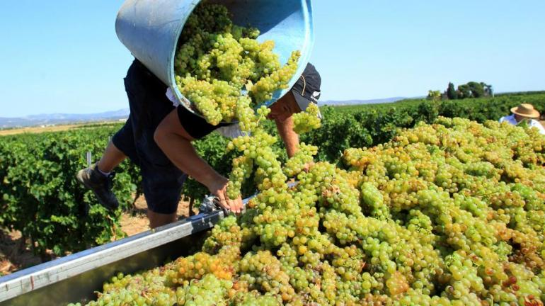 Les vendanges 2014 viennent de débuter. (photo : AFP)